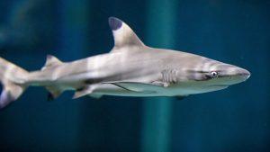 Jr. Vet: Sharks